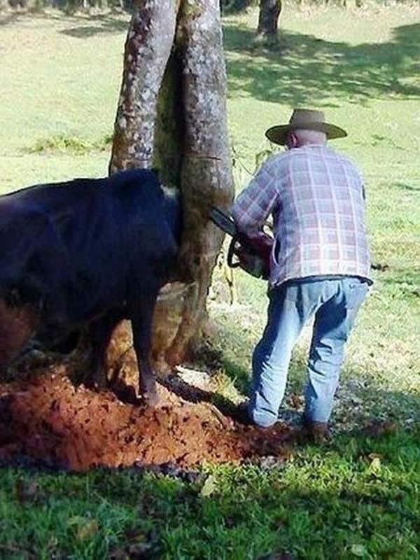 17 Krów Które Zapomniało, Że Są Krowami
