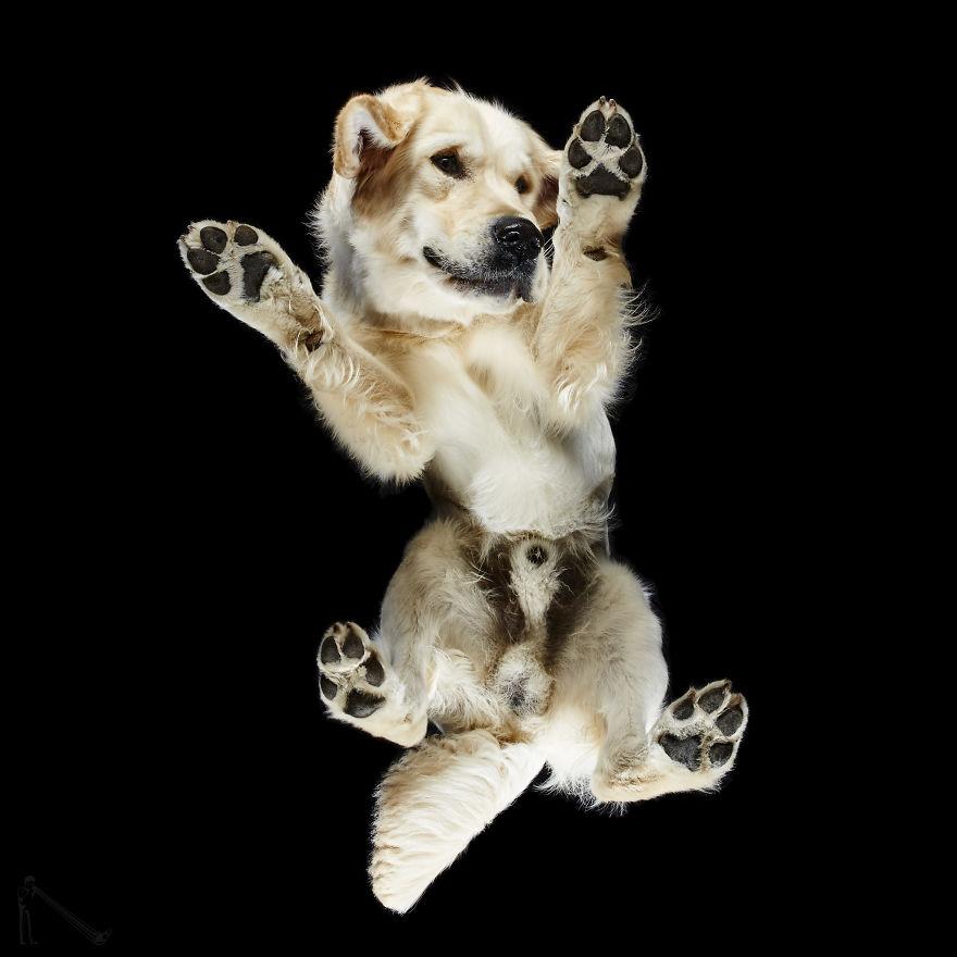 Fotograf przedstawił świat psów od dołu. Wykorzystał do tego szklany stół