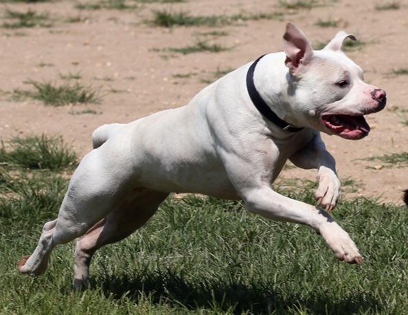 Pit Bull i mały piesek biegli razem przez miasto. Ludzie zaczęli panikować