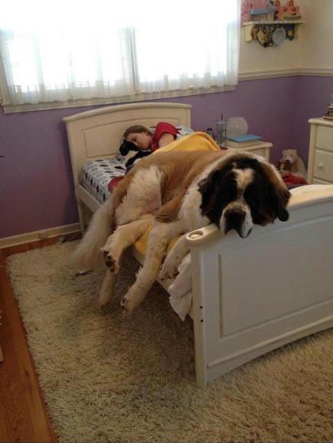 30 naprawdę dużych psów, które kompletnie nie zdają sobie sprawy ze swoich rozmiarów