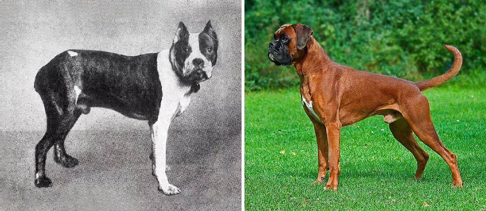 12 ras psów, których wygląd bardzo zmienił się na przestrzeni 100 lat