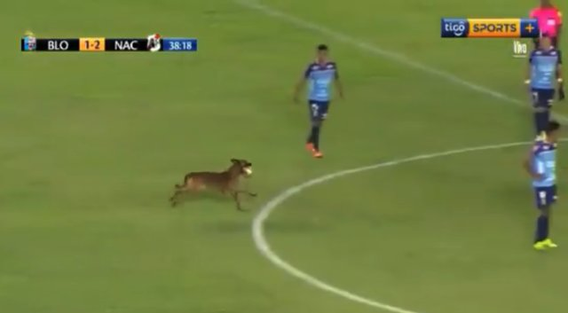 Pies wbiega na murawę i kradnie całe widowisko. Prowadzi piłkę niczym zawodowiec