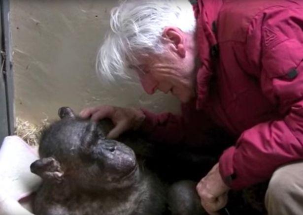 Umierającego szympansa odwiedził stary przyjaciel. Poruszające pożegnanie