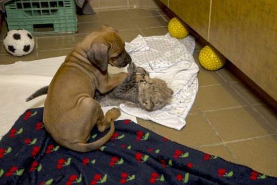Pies i gepard poznali się, kiedy byli jeszcze mali. Po dwóch latach przyjaźnią się nadal