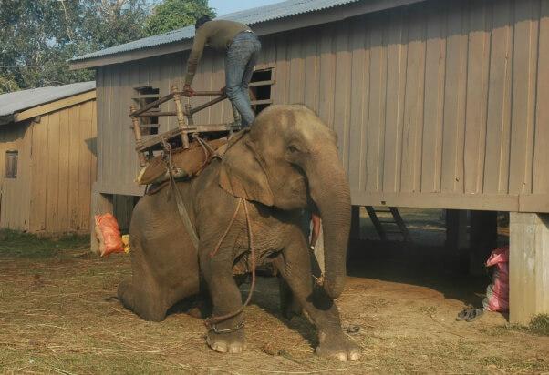 Bili słonia tak długo, aż złamały mu się nogi. Mrożące krew w żyłach wideo trafiło do Internetu