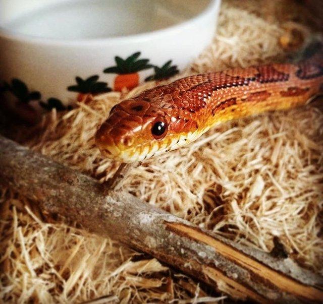 Oto Spaghetti – wąż, który otrzymał naprawdę wyjątkowy prezent pod choinkę