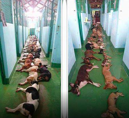 Belgijskie schronisko uśpiło dziesiątki zdrowych psów.Tłumaczono, że placówka jest przepełniona