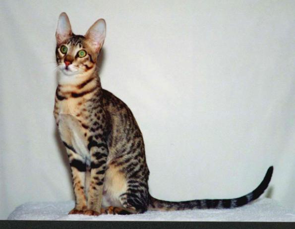 14 najdroższych ras kotów na świecie. Wyglądają majestatycznie!
