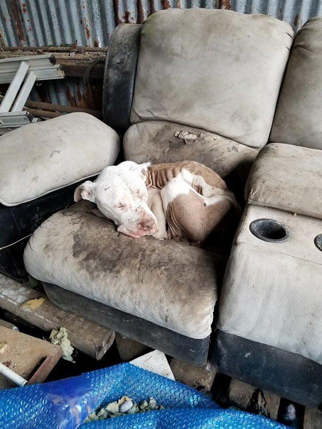 Pit bull z mroczną przeszłością ukrywa się na starym fotelu przy stacji benzynowej