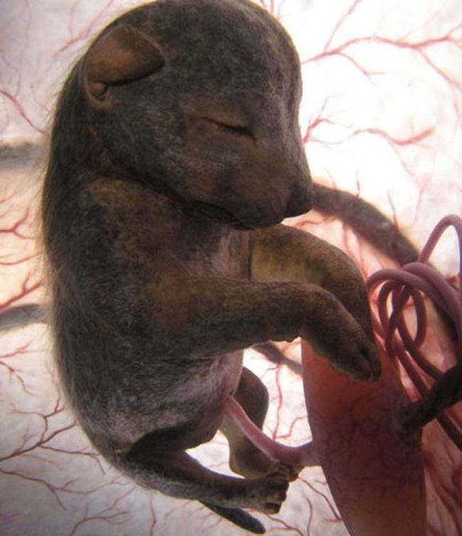 14 niesamowitych zdjęć zwierząt w łonie matki. Zrobiono je kilka dni przed ich narodzinami