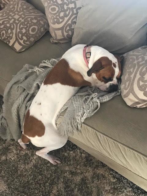 Zabroniła psu wchodzić na kanapę. W krótce suczka wymyśliła sprytny sposób na ominięcie zasad