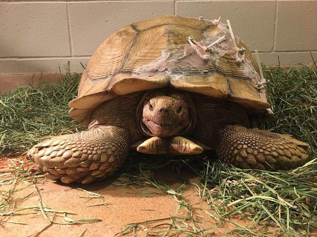 Wzorowa reakcja weterynarzy na rannego żółwia. Gad spadł na plecy i rozbił swoją skorupę