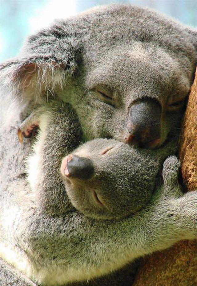 Koala i dziecko
