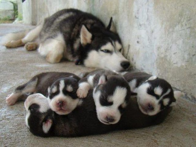 Husky szczeniaki