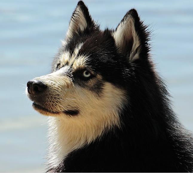 W czasie lata strzyżesz swojego psa na krótko? Jak najszybciej przestań to robić!
