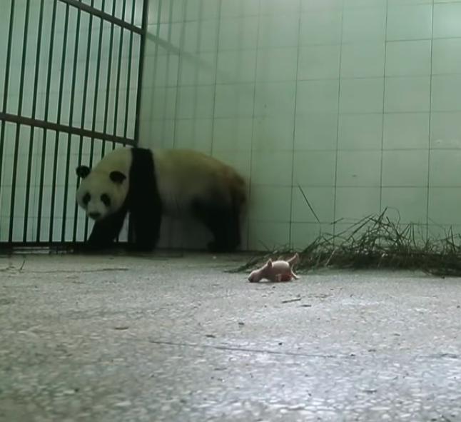 Panda ignorowała swoje dziecko. Kamery uchwyciły moment, kiedy jej instynkt w końcu wziął górę