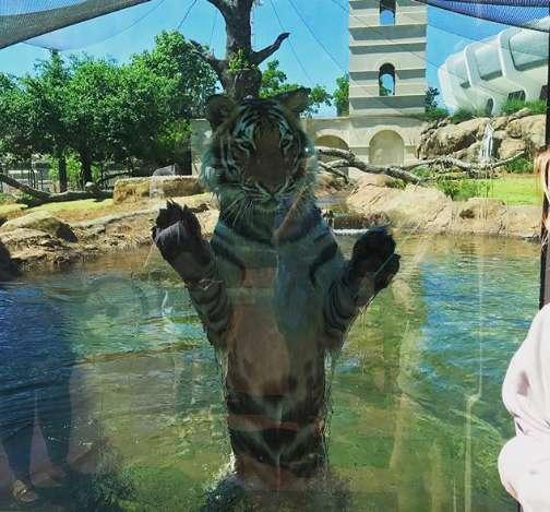 Tygrys wbił się w szybę, po tym jak ludzie próbowali go drażnić. Dziki zwierzak był bezradny