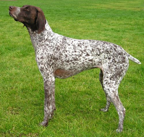 Najmądrzejsze rasy psów według psychologa zwierzęcego. Czy twój pupil do nich należy?