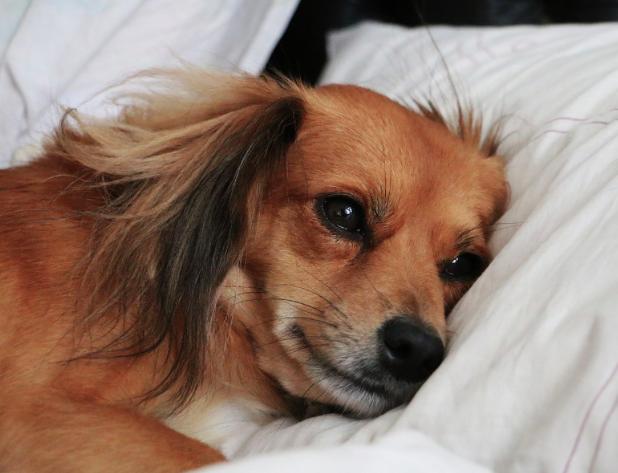 Dlaczego psy tak chętnie śpią w naszych łóżkach?