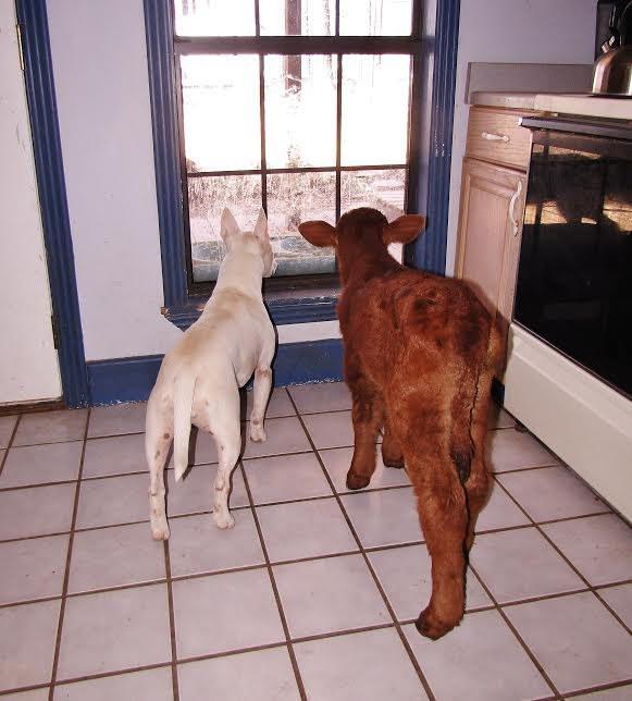 Uratowana krowa zaprzyjaźniła się z niesłyszącym psem. Czworonóg wiele ją nauczył