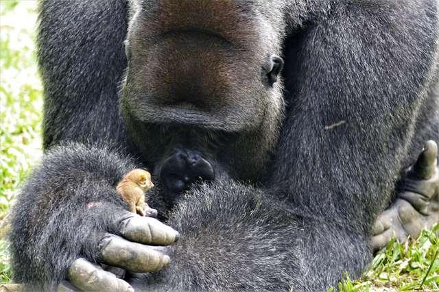 Wielki goryl tulił maleńkie stworzonko. Zwierzaki zostały nakryte przez opiekunów