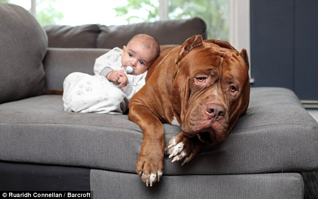 Ważący ponad 70 kg pit bull okazał się być doskonałą opiekunką dla dziecka