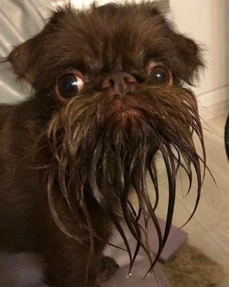 Nuts to pies z wyjątkowo długą brodą. Swoim wyglądem przypomina starszego pana
