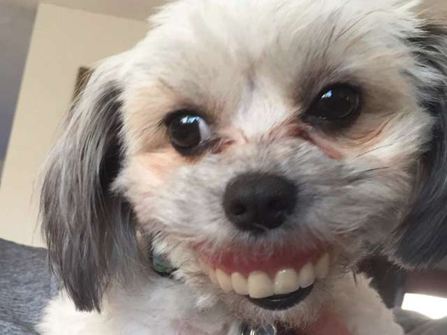 Nigdzie nie mógł znaleźć swojej sztucznej szczęki. Gdy spojrzał na psa, parsknął śmiechem