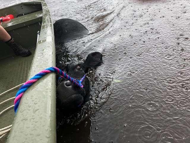Krowa walczyła o życie w porywistej wodzie. Robiła wszystko, aby utrzymać się na powierzchni