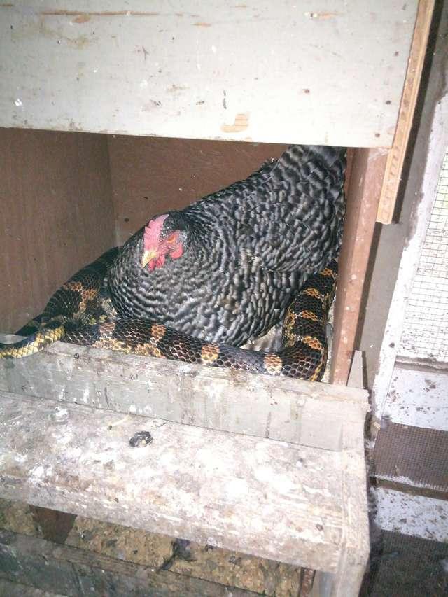 Kobieta przyłapała swoją kurę na tajnej schadzce z wężem