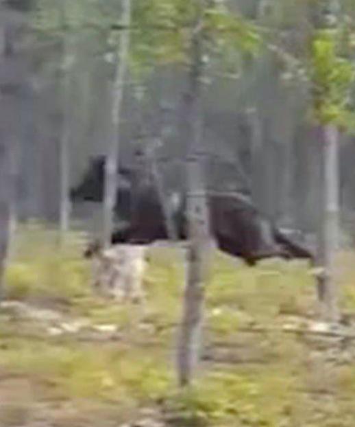 Ogromny wilk gonił psa po lesie. Filmik zostaje przerwany przez głośny skowyt