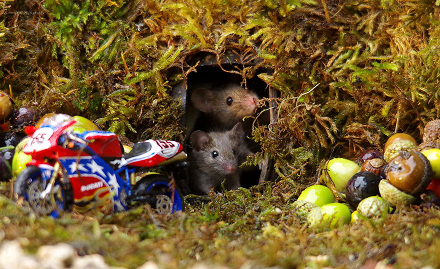 Znalazł rodzinę myszy żyjącą w jego ogrodzie. Zamiast sięgnąć po pułapki, chwycił za narzędzia