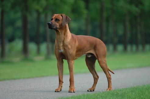10 ras psów, przy których można czuć się bezpiecznie