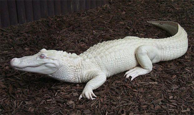 Albinizm u zwierząt, aligator albinos