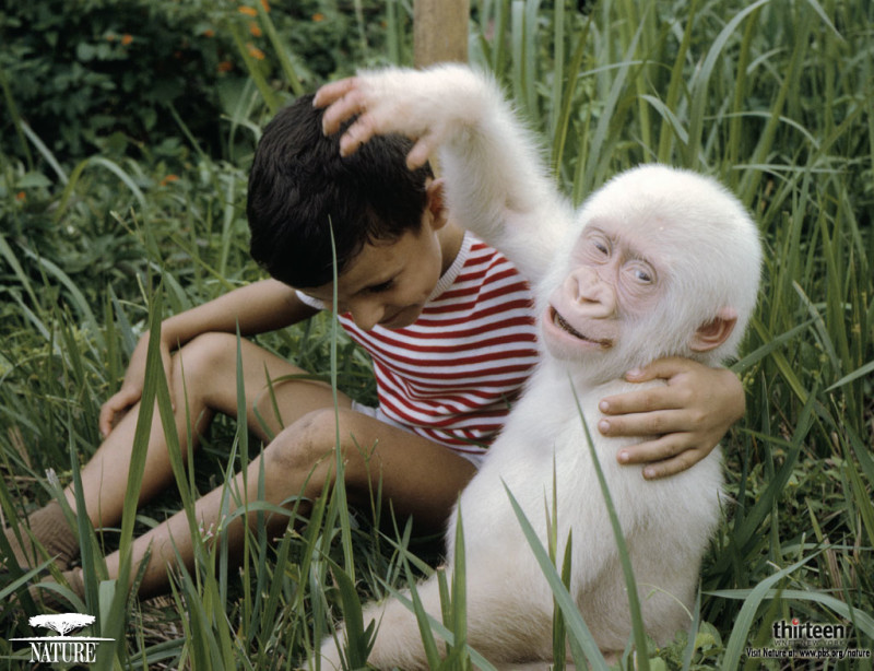 Goryl albinos