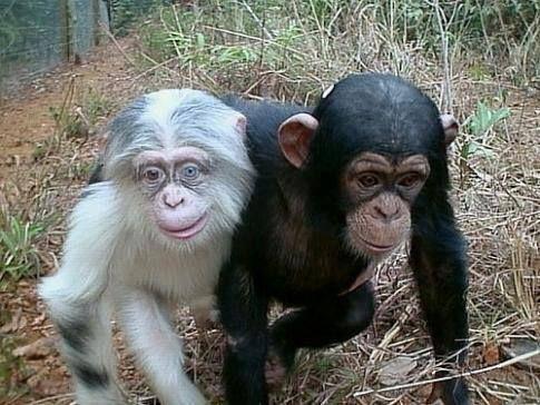 Albinizm u zwierząt, szympans albinos