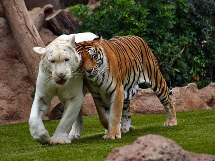 Tygrys albinos