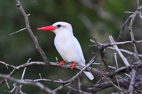 Zwierzęta z albinizmem, zimorodek albinos