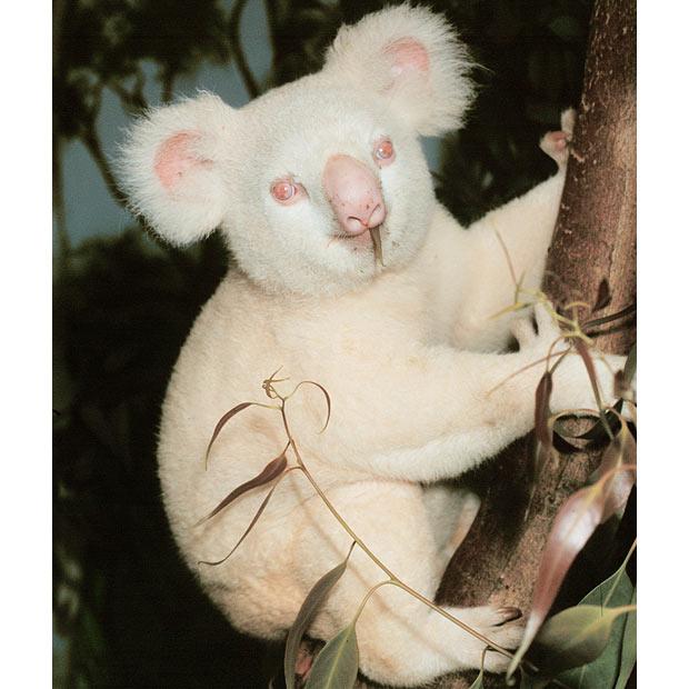 Albinizm u zwierząt, koala z albinizmem