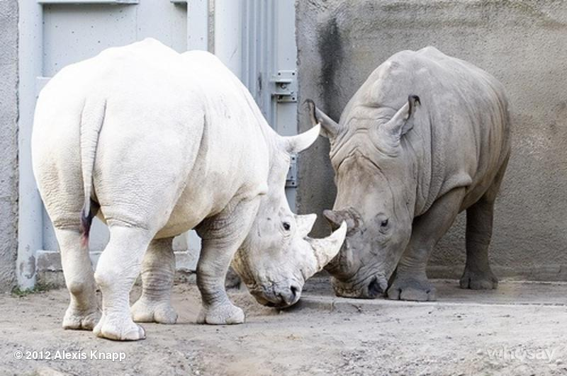 Albinizm u zwierząt, biały nosorożec