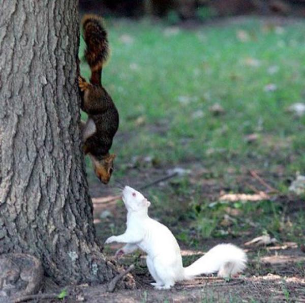 Wiewiórka z albinizmem