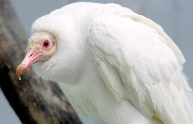 Sęp albinos