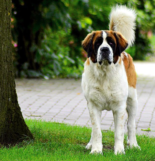 8 ogromnych ras psów, które mimo swoich rozmiarów, uwielbiają być przytulane