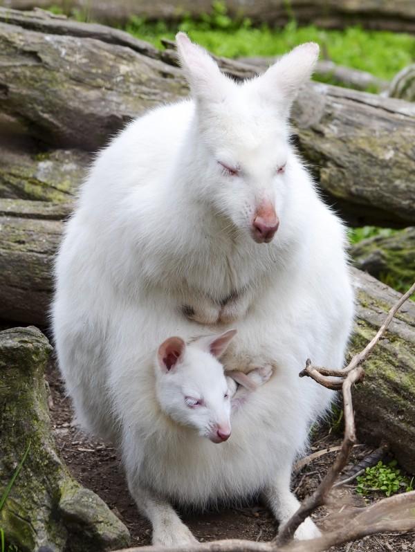 Albinizm u zwierząt, Walabia