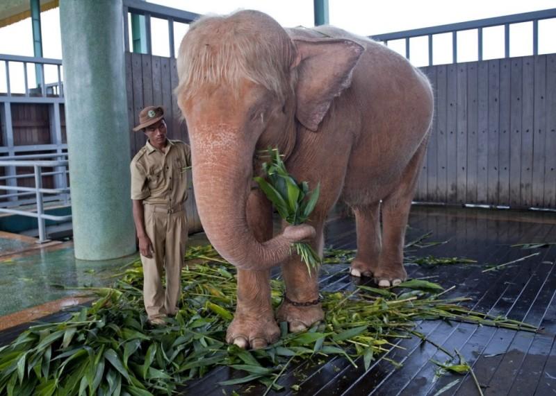 Słoń albinos