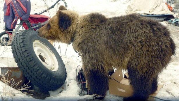 Niedźwiedź zjada Rosjanina, który przez lata trzymał go w klatce obok swojego domu