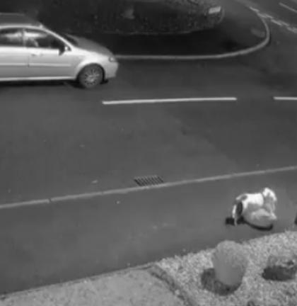 Pies desperacko goni za rodziną, która wyrzuciła go z auta. Wszystko nagrał monitoring