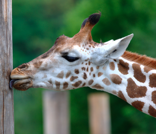 Żyrafy właśnie trafiły na listę gatunków zagrożonych wyginięciem. Ludzie nie są tego świadomi