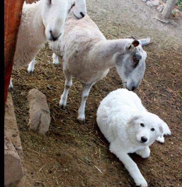 Absurdalna decyzja sądu: Rodzina zmuszona do usunięcia psu strun głosowych