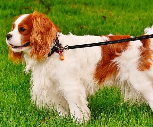 8 ras psów, które są idealnymi towarzyszami dla seniorów